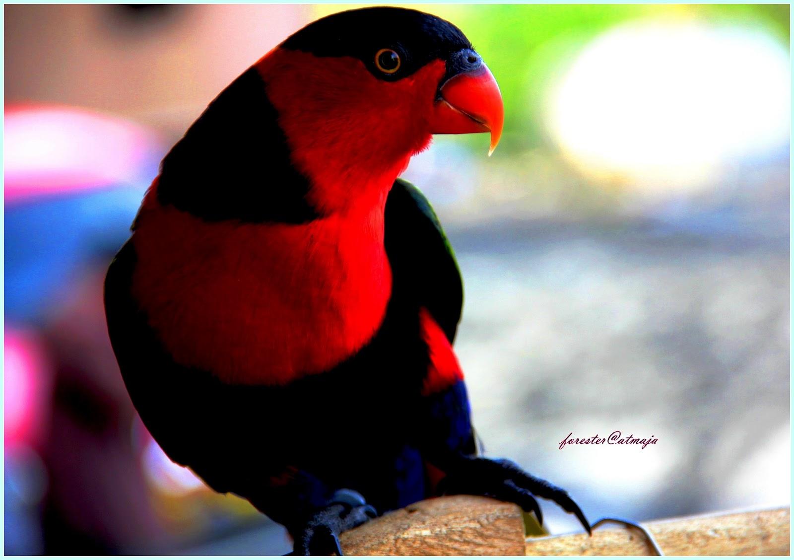 ... ekornya juga berwarna kuning burung betina serupa dengan burung jantan