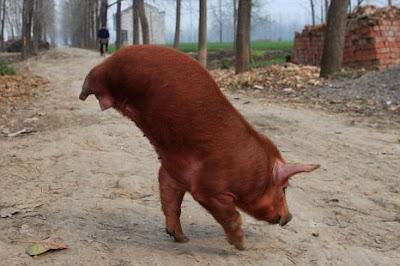 Babi berjalan dengan dua kaki, kerana tiada kaki belakang