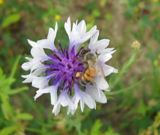 Bachelor's Buttons (Centaurea Cyanus) at White Rock Lake, Dallas, TX