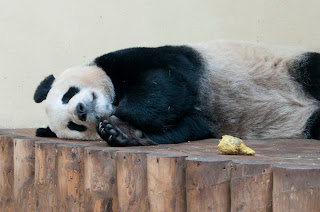 Giant pandas in the UK