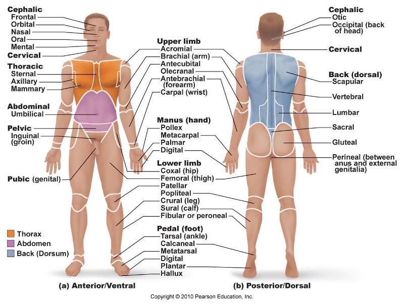 Anatomy Diagram  H...