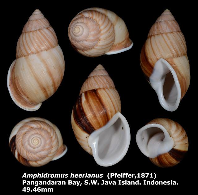 Amphidromus heerianus 49.46mm