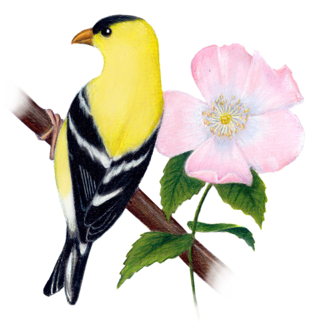 Io wa state bird (goldfinch) and state flower (prairie rose) title=