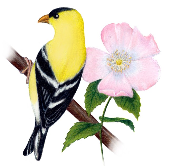 Arkansas State Bird And Flower Coloring Pages Coloring