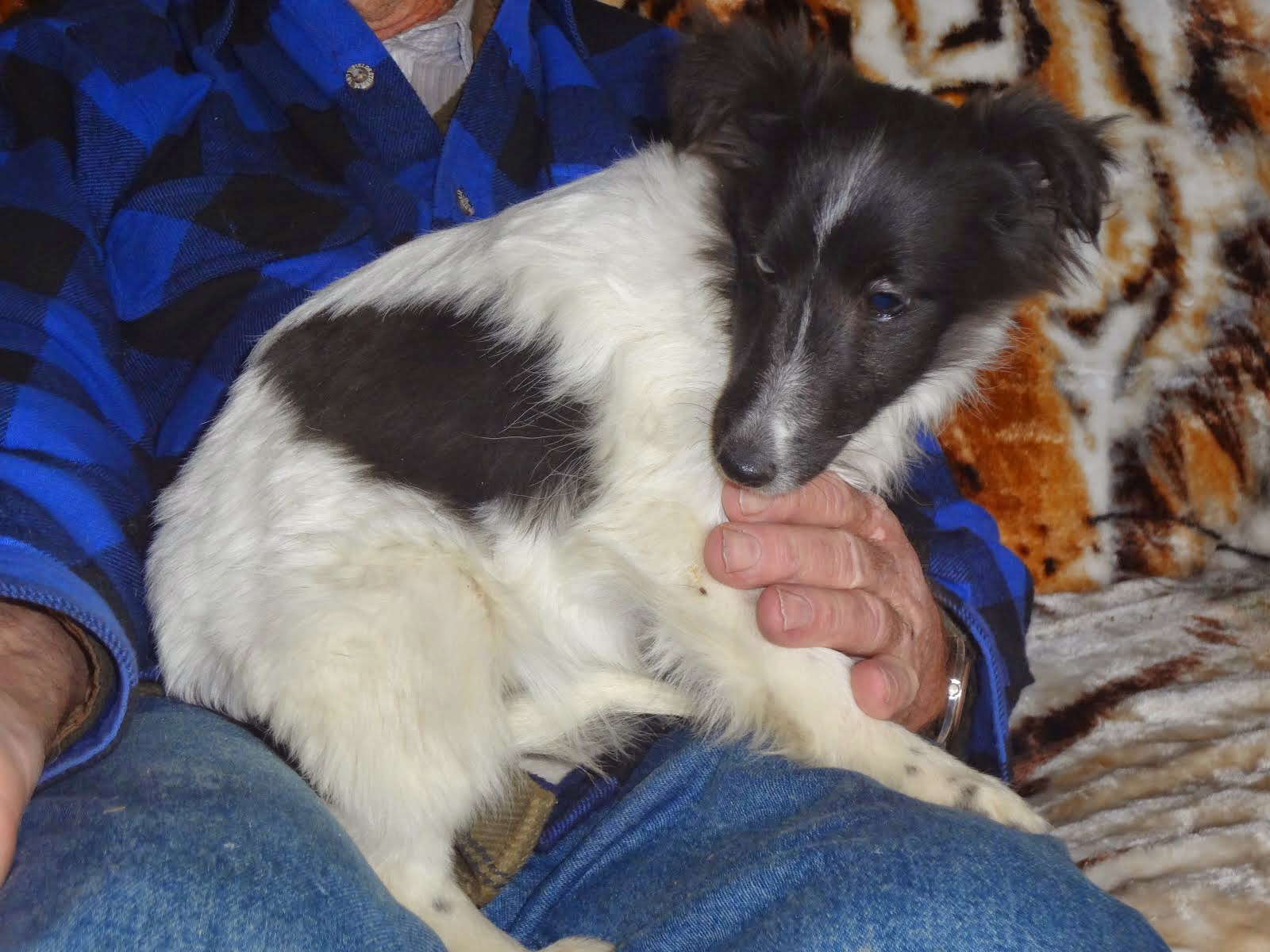 Black and White Sheltie Puppy
