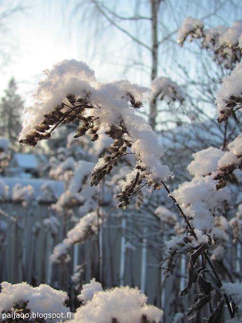 talvi: kanadanpiisku