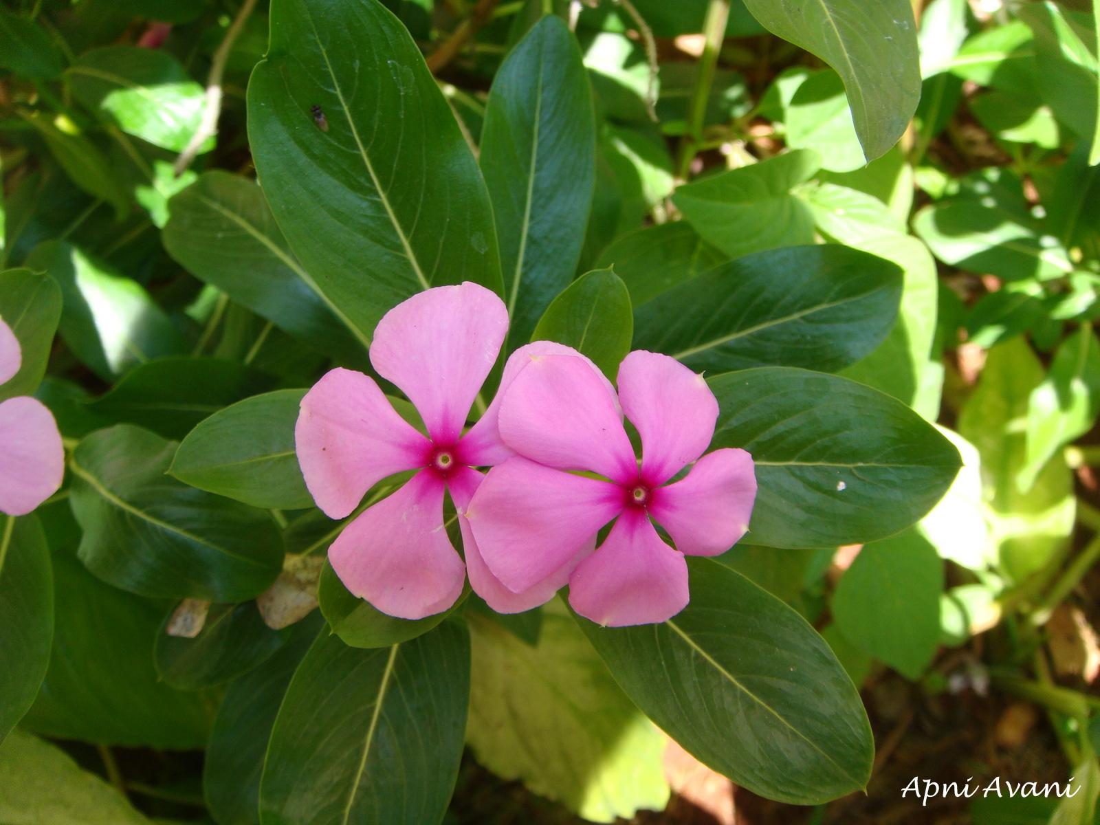 Catharanthus roseus - Wikipedia