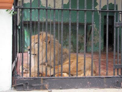 Лев в Петербургском зоопарке