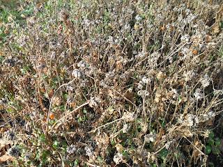 семена ноготков (календулы)