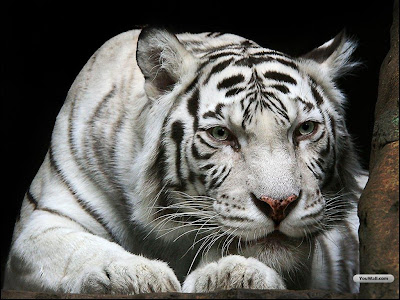Cute Wallpaper of White Tiger