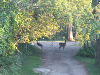 Deer in the road at preserve
