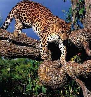 Leopardo bajando de un árbol