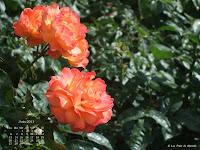 Fond d'écran juin 2011 - Roses parisiennes