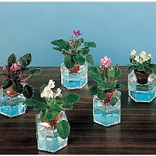 Mini African Violets