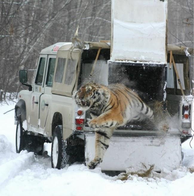 Тигр вырывается на свободу из клетки в машине на Дальнем Востоке.