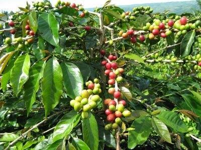 perkebunan kopi