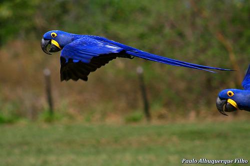 Aara Azul - Anodorhynchus hyacinthinus