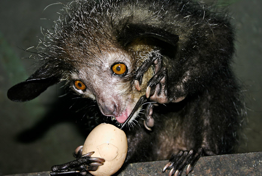 Aye-Aye | The Biggest Animals Kingdom