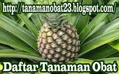 Tanaman Obat Nanas  (Ananas comosus (L.) Merr.)