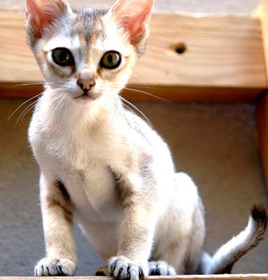 Foto Kucing Singapura