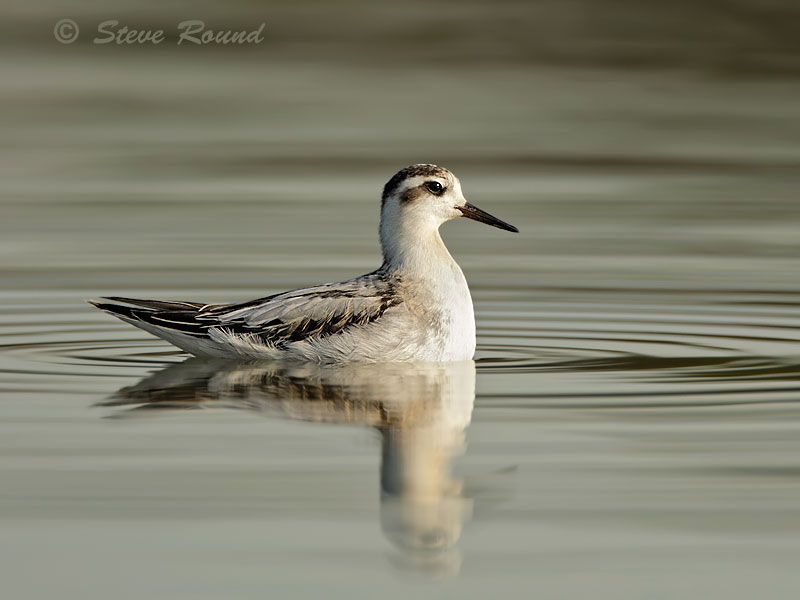 bird, Grey Phalarope
