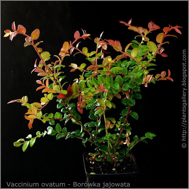 Vaccinium ovatum habit - Borówka jajowata pokrój