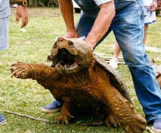 tortuga-gigante-mordedora-animales-raros