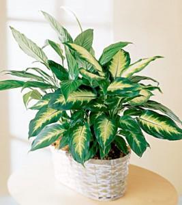 B r e a venenos plantas venenosas dieffenbachia for Una planta ornamental
