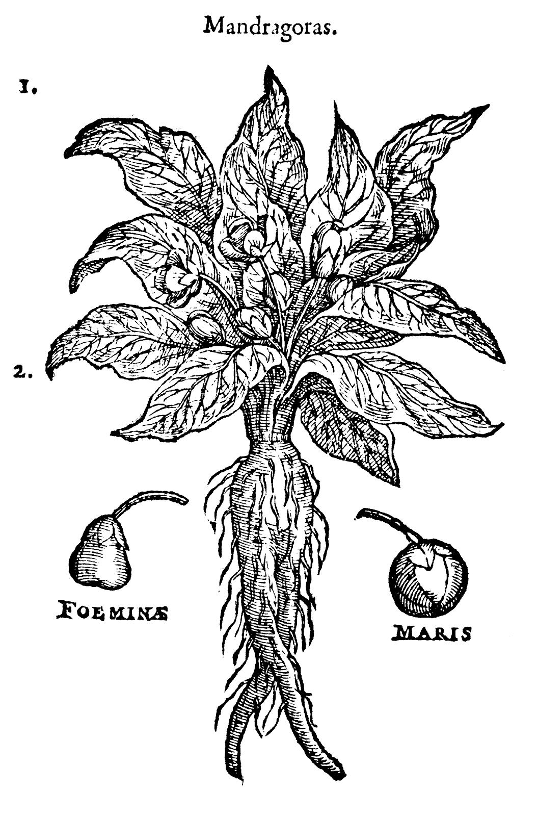 mandrake fruit