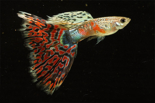 Red Mosaic Guppy fish