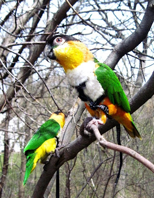 white bellied caique and black headed caique on aviator harness