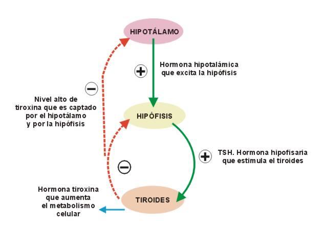 BIOLOGÍA 3º SECUNDARIA: Control hormonal