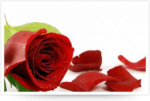Gamasalah Fungsi Bunga Mawar Atau Manfaat Bunga Mawar