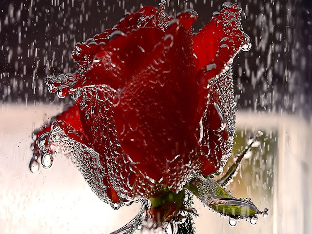 wet rose wallpaper