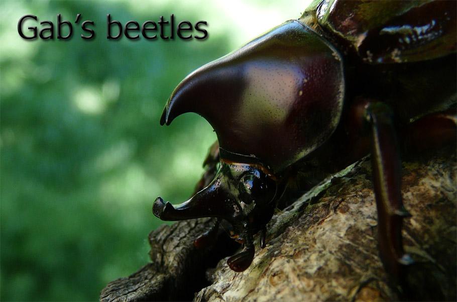 Gab's beetles