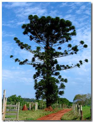 pino parana Araucaria angustifolia