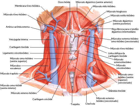 homo músculo
