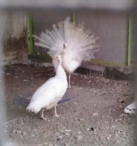 Jual burung merak putih india