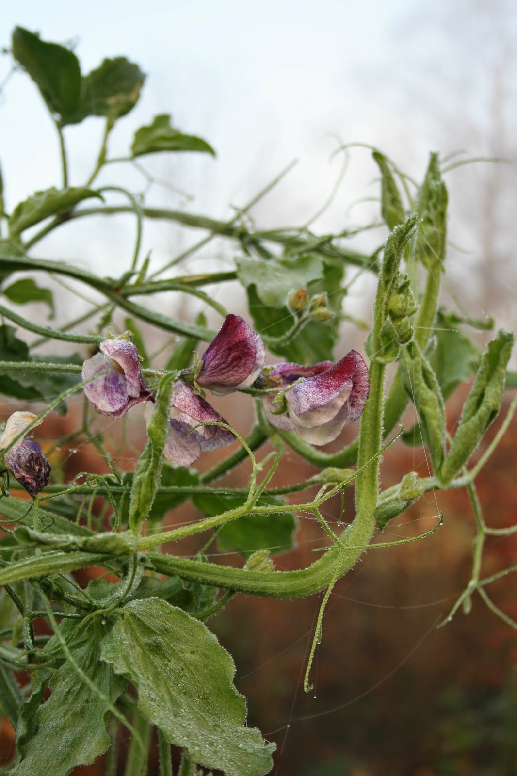 trädgårdsblogg luktärt lathyrus odoratus