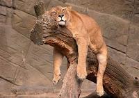 Alvó oroszlán