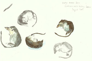 Water shrew studies in pencil and watercolour