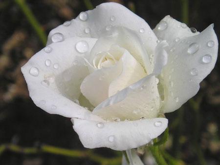 Ang lica italia significado de los colores - Significado rosas blancas ...