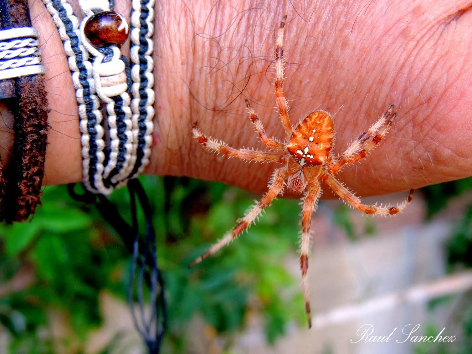 Araña de Jardin