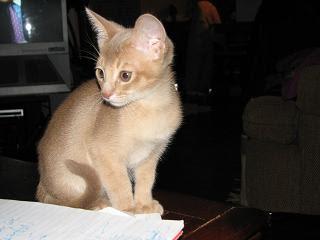 Fawn Abyssinian Kitten