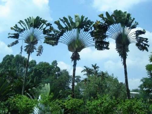 world giant tree