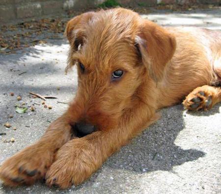 Terrier Dog Puppies Pictures
