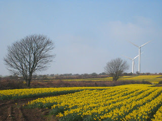 Daffodils and wind turbines in Cornwall