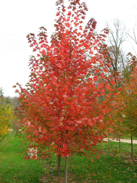 Autumn Blaze Red Maple7