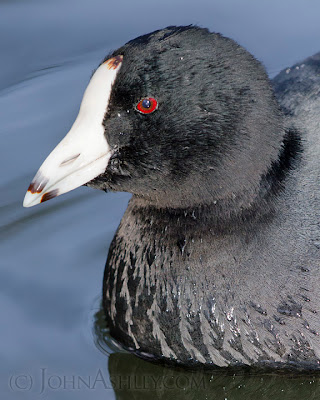 American Coot (c) John Ashley