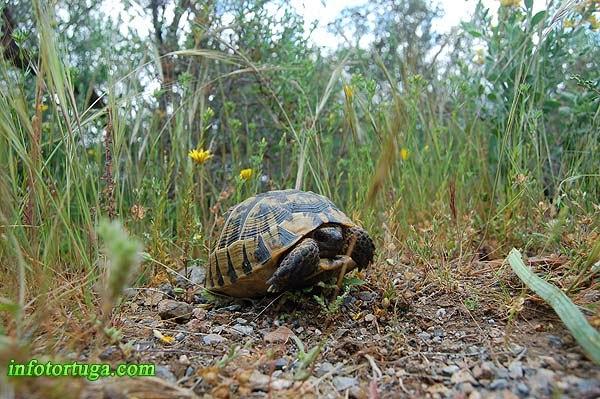 Tortuga mora en su hábitat
